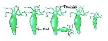 diagram of asexual reproduction of hydra