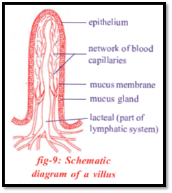 draw a schematic diagram of villus in small intestine Diagram Of Villus diagram of villus wiring diagrams pj