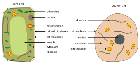 Plant cell and animal cell Differentiate between (A.S 1)