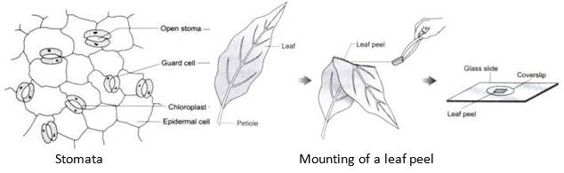 Prepare a temporary mount of any leaf peel to observe the