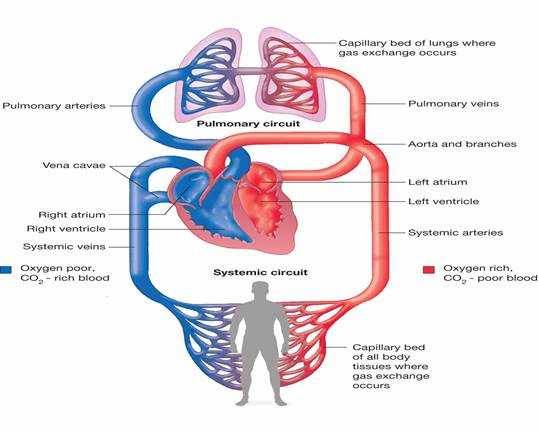 cardiopulmonary-system-diagram-diagram-of-the-cardiovascular-system-human-circulatory-system.jpg