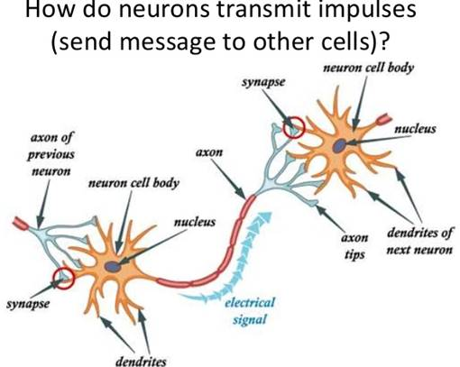 nervous-system-14-638.jpg