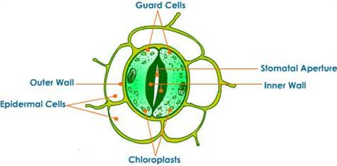 Draw a labelled diagram of stomata  List two functions of