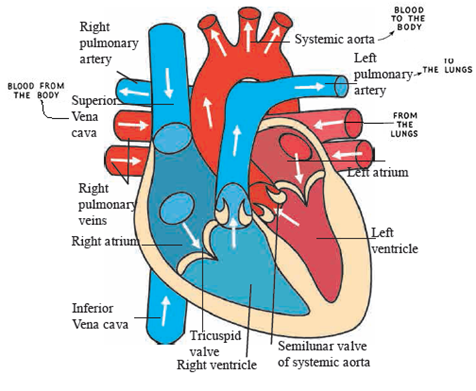 Internal structure of heart. Draw neat and labelled diagrams.