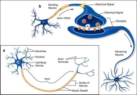 a-Structure-of-neuron-with-axon-dendrites-and-synapses-b-Structure-of-a-synaptic.png