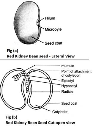 draw a labeled diagram of the inside of the dicot seed