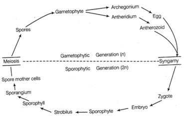 With the help of a schematic diagram describe the haplo ... Schematic Diagram Life on