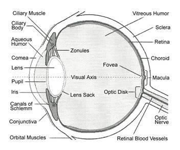 Simple Human Eye Diagram Sketch Of The Human Eye Wiring