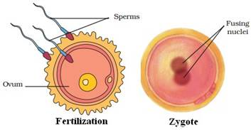 Draw A Labeled Diagram To Show The Fertilization Of A Human